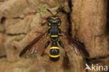 Grote Fopblaaskop (Sphiximorpha subsessilis)