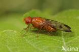 Neottiophilum praeustum