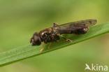 Scheefvlekkorsetzweefvlieg (Neoascia obliqua)