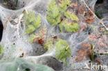 Kleine wintervlinder (Operophtera brumata)