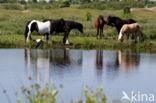 Equus ferus caballus