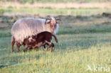 Drents heideschaap (Ovis domesticus)
