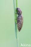 Muisgrijze kniptor (Agrypnus murina)