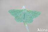 Zomervlinder (Geometra papilionaria)