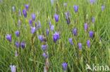 Klokjesgentiaan (Gentiana pneumonanthe)