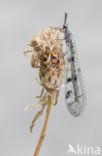 Mierenleeuw (Euroleon nostras)