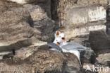 Drieteenmeeuw (Rissa tridactyla tridactyla)