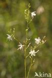 Vertakte graslelie (Anthericum ramosum)