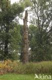 Populier (Populus spec.)