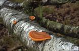 Vermiljoenhoutzwam (Pycnoporus cinnabarinus)
