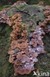 Sombere honingzwam (Armillaria ostoyae)