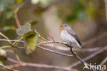 Kleine Vliegenvanger (Ficedula parva)