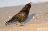 Zwarte Kraai (Corvus corone)