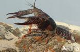 Rode Amerikaanse rivierkreeft (Procambarus clarkii)