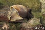 Gewone Poelslak (Lymnaea stagnalis)