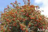 Lijsterbes (Sorbus)