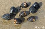 Aziatische korfmossel (Corbicula fluminea)