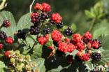 Braam (Rubus spec)
