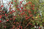 Egelantier (Rosa rubiginosa)