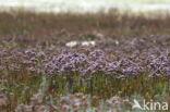 Lamsoor (Limonium vulgare)