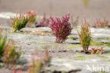 Zeekraal (Salicornia spec)
