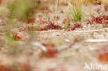 Zonnedauw (Drosera spec.)