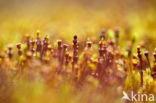 Zandhaarmos (Polytrichum juniperinum)