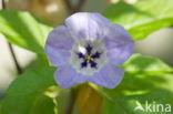 Haagwinde (Convolvulus sepium)
