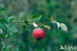 Appel (Malus domesticus)