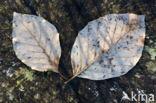 Gewone vogelkers (Prunus padus)
