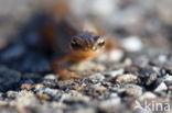 Salamander (Caudata)