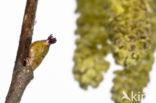 Hazelaar (Corylus avellana)