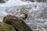 Waterspreeuw (Cinclus cinclus)