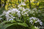 Daslook (Allium ursinum)