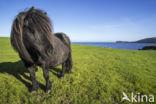 Shetland pony (Equus spp)