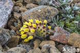 Wondklaver (Anthyllis vulneraria)