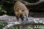 Rode neusbeer (Nasua nasua)