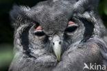 Verraux  oehoe (Bubo lacteus)