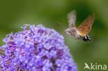 Kolibrievlinder (Macroglossum stellatarum)