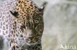 Perzische Panter (Panthera pardus saxicolor)
