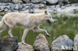 Poolwolf (Canis lupus arctos)