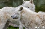 Poolwolf (Canis lupus arctos)
