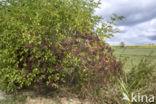 Gewone vlier (Sambucus nigra)