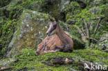 Gems (Rupicapra pyrenaica)