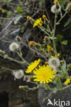 Stengelomvattend havikskruid (Hieracium amplexicaule)