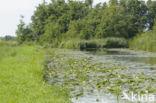 Witte waterlelie (Nymphaea alba)