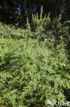 Alsemambrosia (Ambrosia artemisiifolia)