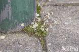 Vroegeling (Erophila verna)