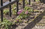 Vingerhelmbloem (Corydalis solida)