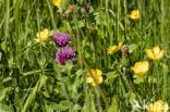 Rode klaver (Trifolium pratense)